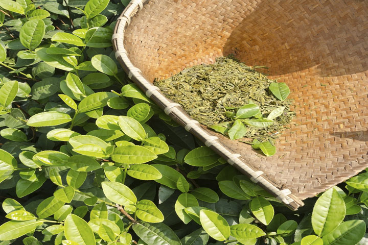 giảm rụng tóc với trà xanh